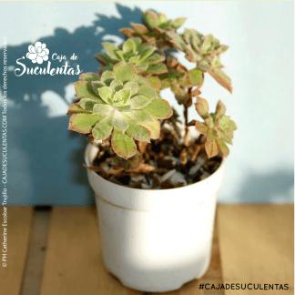 Suculenta Aeonium Mascaense