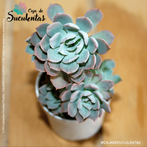Suculenta Echeveria Angel