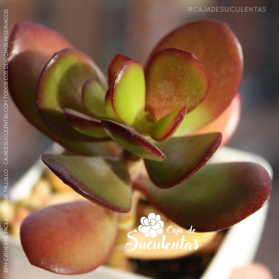 crassula ovata planta jade