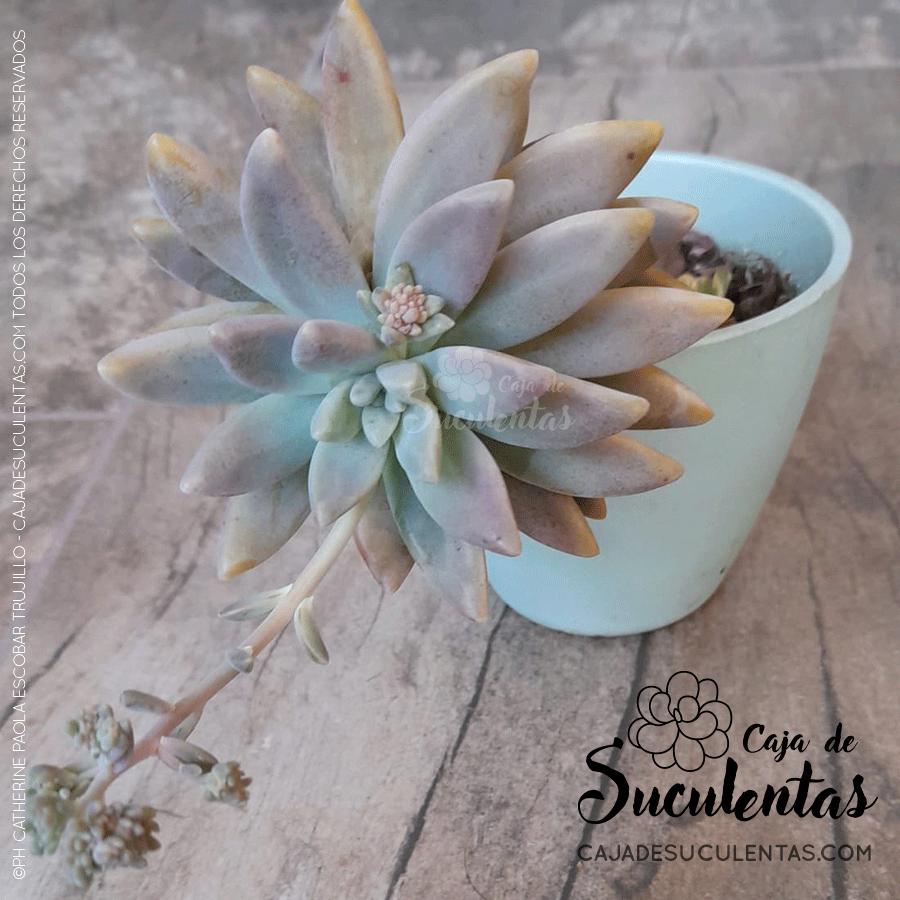 Suculenta graptosedum francesco baldi con luz solar filtrada, reproducción por hoja